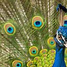 Indian Peafowl by Dominika Aniola