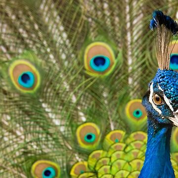 Indian Peafowl by domcia