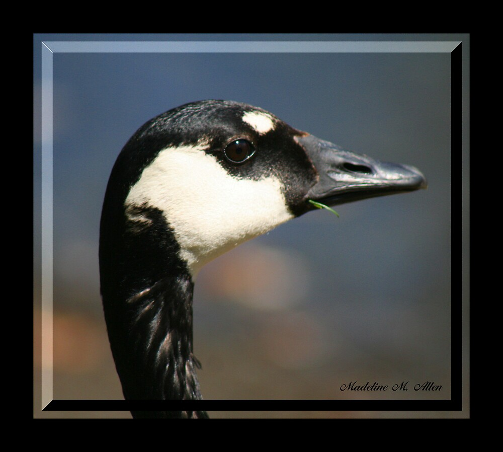 COOL GOOSE by Madeline M  Allen