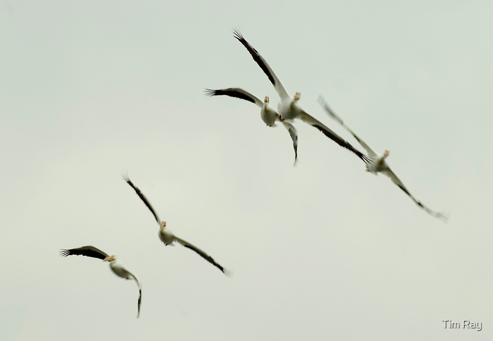 The Flying Pelicans 1 by Tim Ray
