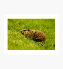Groundhog Art Print
