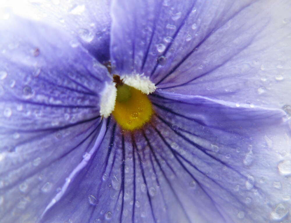 Pansy by Shan2112