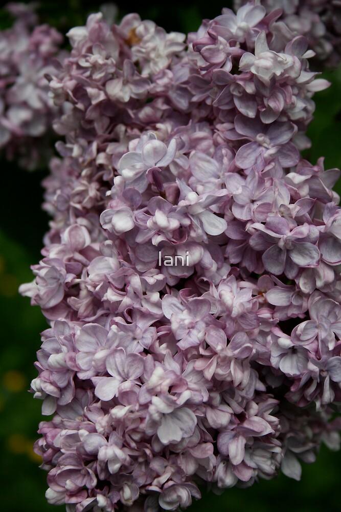 Lilac by Iani