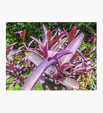 Purple Queen Photographic Print