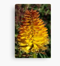 Chives Flower in Full Bloom Canvas Print