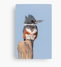 Female Belted Kingfisher Canvas Print