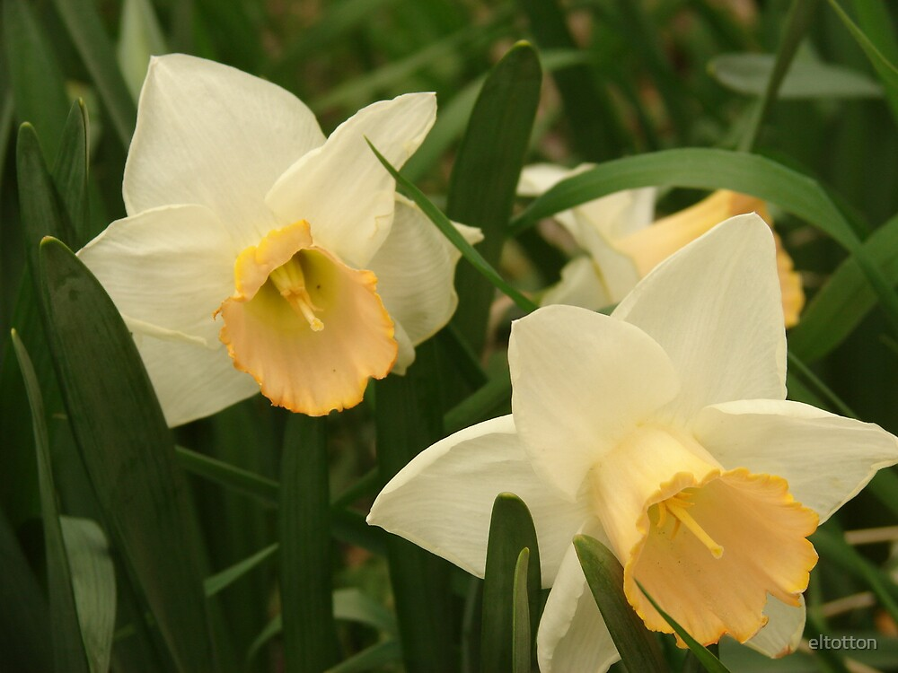 Daffodils by eltotton