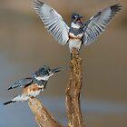 Belted KIngfishers by (Tallow) Dave  Van de Laar