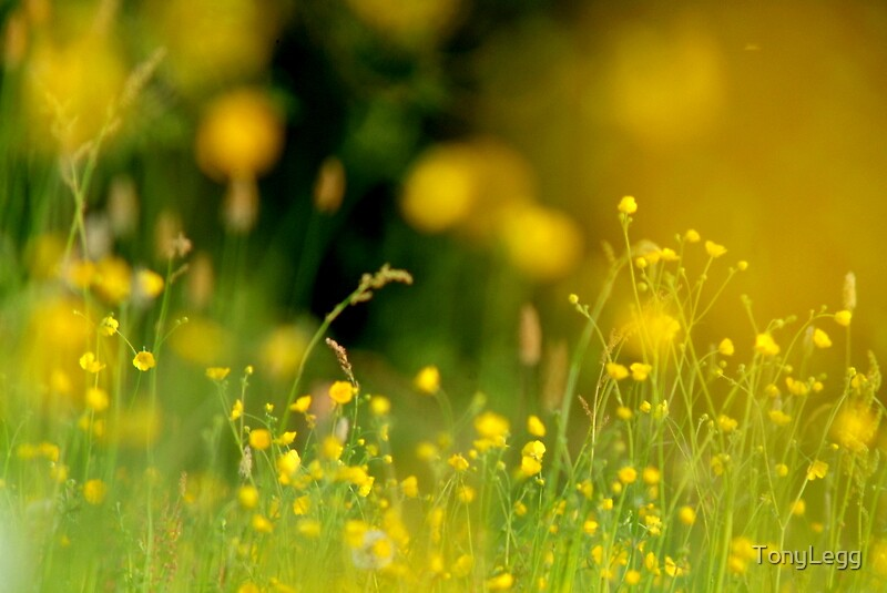 Spring pasture -- Buttercups wide open by TonyLegg
