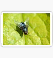 Bluebottle fly on leaf with green background Sticker