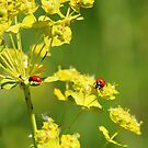 Ladybugs by Alyce Taylor