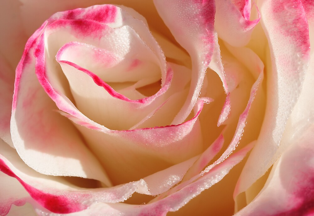 Rose - Double Delight by Darren Post
