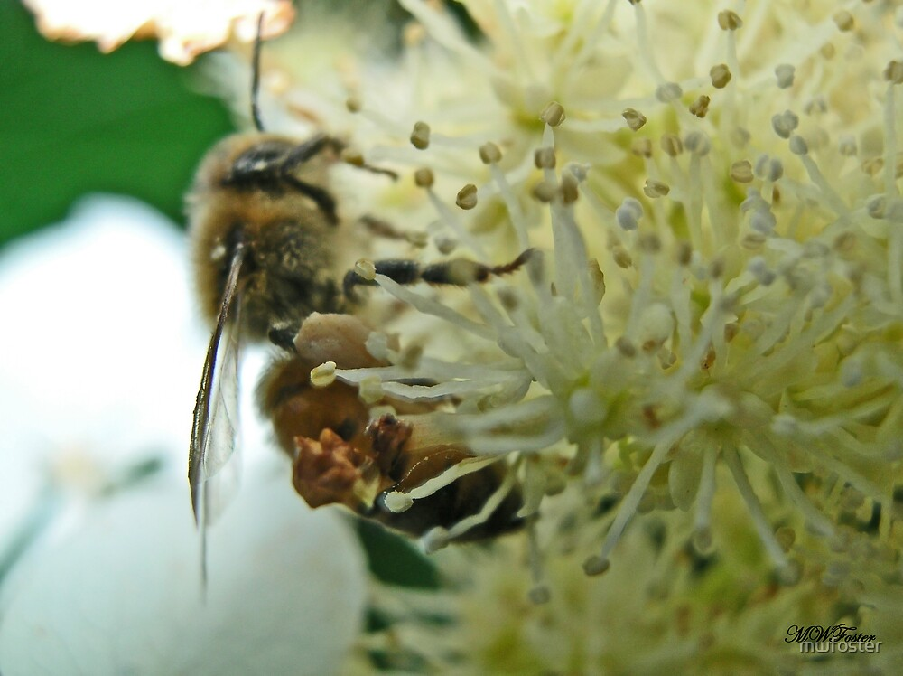 Bee on Hydrangia by mwfoster