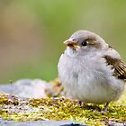 House sparrow (Passer domesticus) Wróblel 08-07-2017  ( 2 ) by MarekM