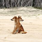 Fraser Island Dingoes by Cassie Robinson