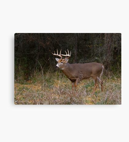 On the hunt - White-tailed deer Buck Canvas Print