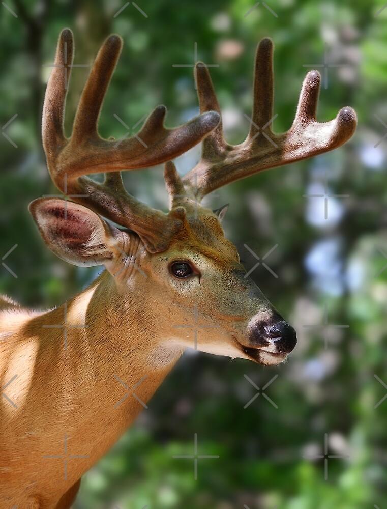As smooth as velvet - White-tailed Deer by Jim Cumming