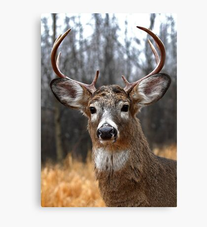 I am Prince - White-tailed deer Canvas Print