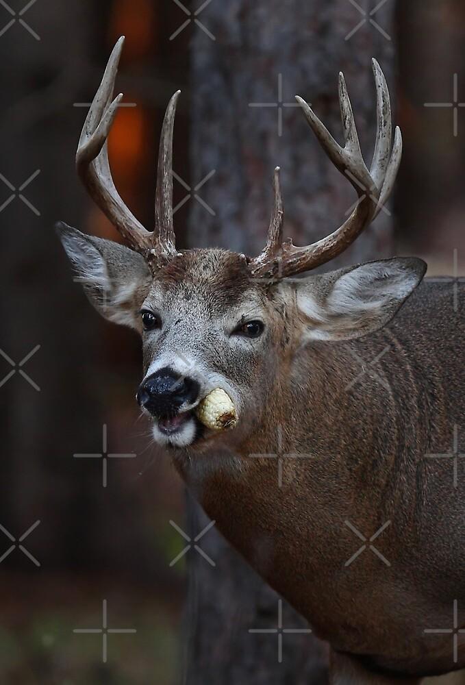 Gotta love corn - White-tailed Deer by Jim Cumming