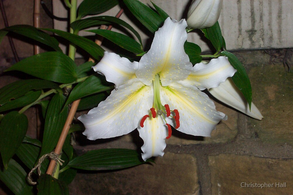 White Lily by Christopher Hall
