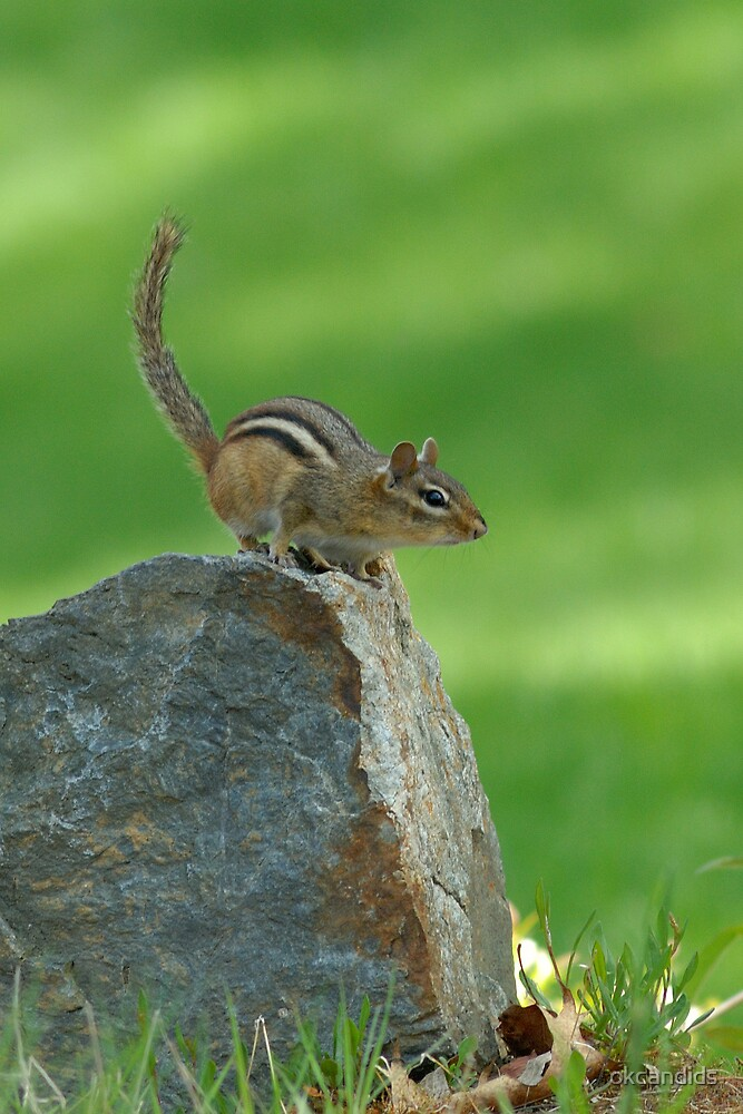 Chipmunk by okcandids
