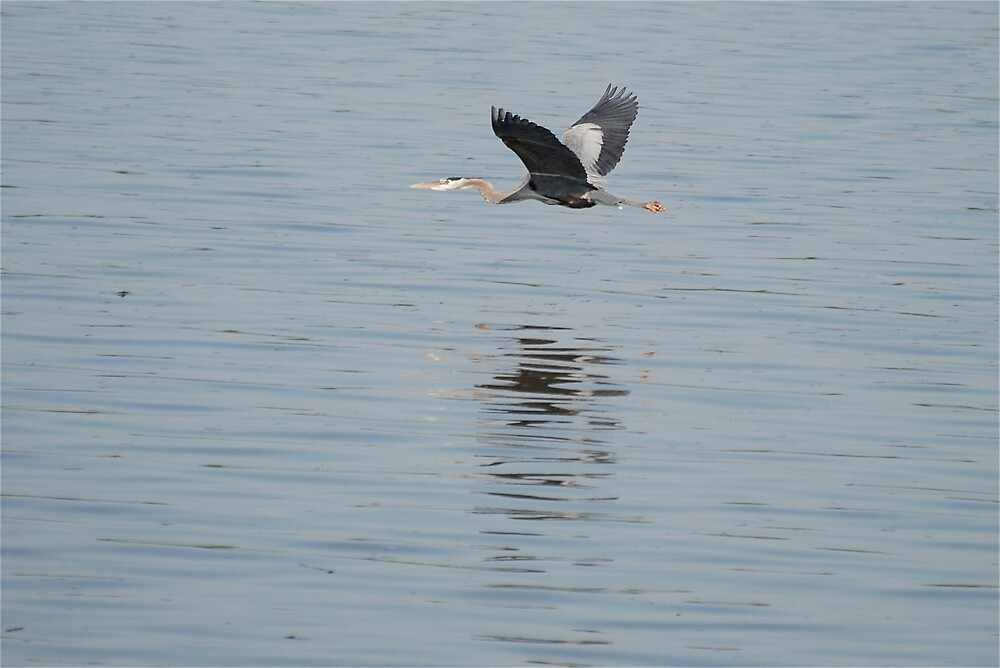 Blue Heron in Flight by Jim Caldwell