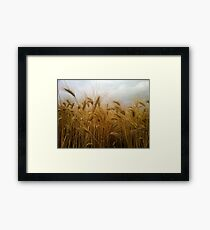 Ripe wheat  Framed Print