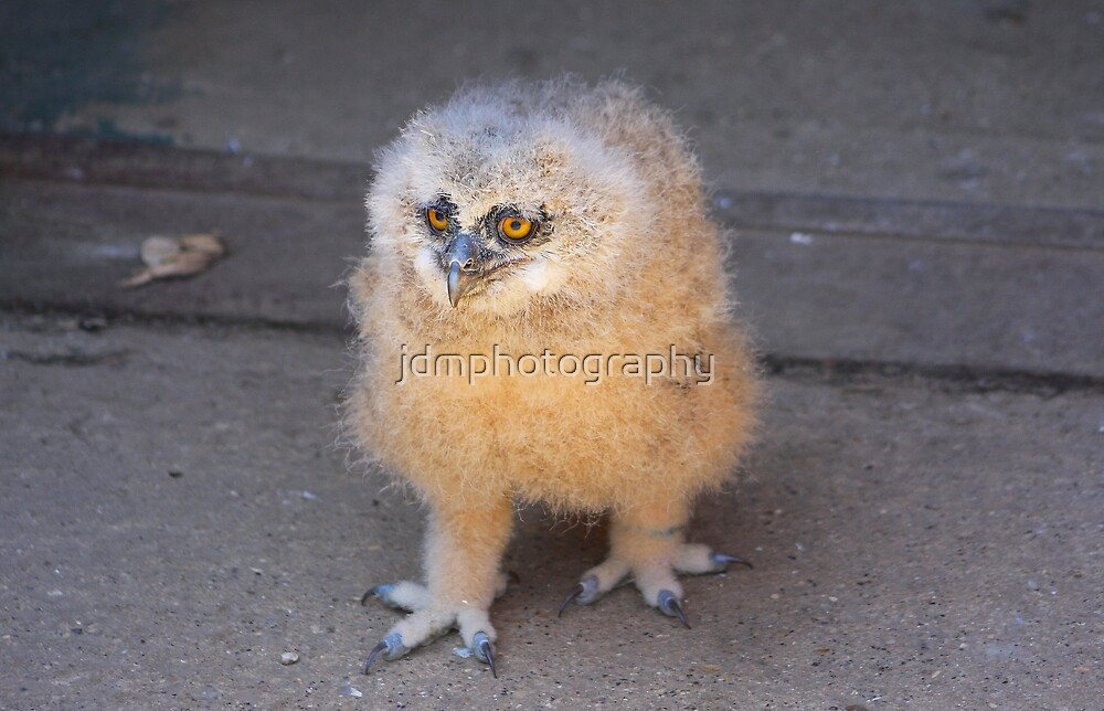 Baby Owl 3 ( one of four ) by jdmphotography