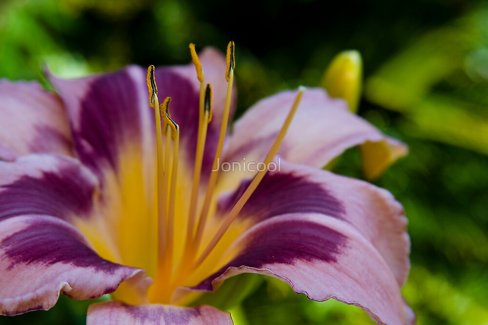 Day Lily by Jonicool