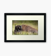 Bison resting in the Grass Framed Print