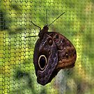 Owl Butterfly by Cynthia48