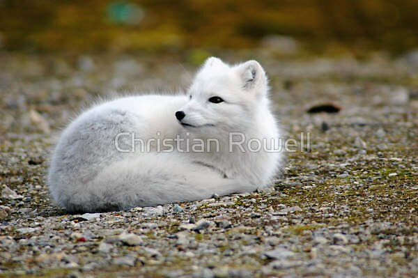 Arctic fox by Christian Rowell
