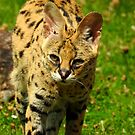 Serval Two by Barnbk02