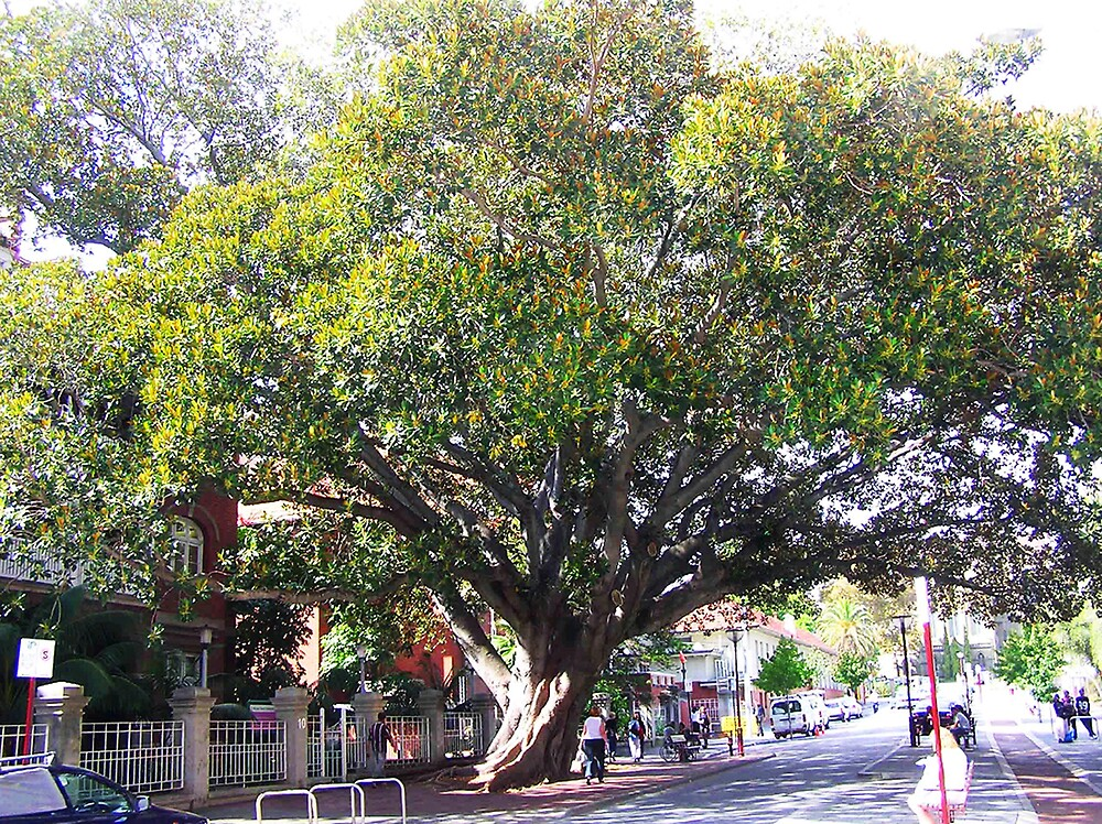 Perth's oldest tree by georgieboy98