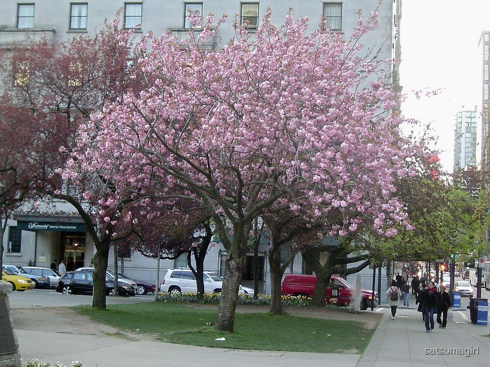 Cherry Tree in Vancouver, BC by satsumagirl