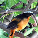 White-Crowned Robin-Chat by Barnbk02