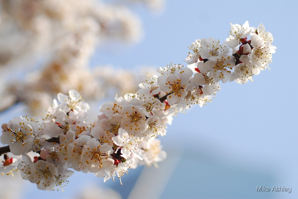 Cherry Blossoms in a Tree (3) by Mike Ashley