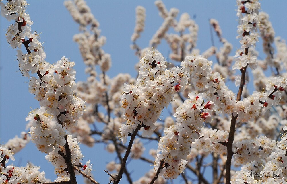 Cherry Blossoms in a Tree (2) by Mike Ashley