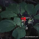 American Ginseng w/red Berries by wildozark
