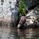 Mink Descending Into Lake by patti4glory