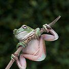 Green Tree Frog by Frank Yuwono