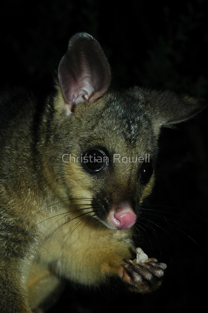 possum by Christian Rowell