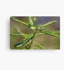 An insect? Canvas Print