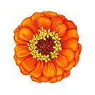 Zinnia in Orange by Suzannah Alexander