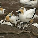 Australasian Gannets - Portland VIC (3712) by Emmy Silvius