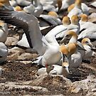 Australasian Gannets - Portland VIC (3802) by Emmy Silvius