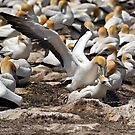 Australasian Gannets - Portland VIC (3805) by Emmy Silvius