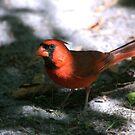 Timid Cardinal by Sarah McKoy