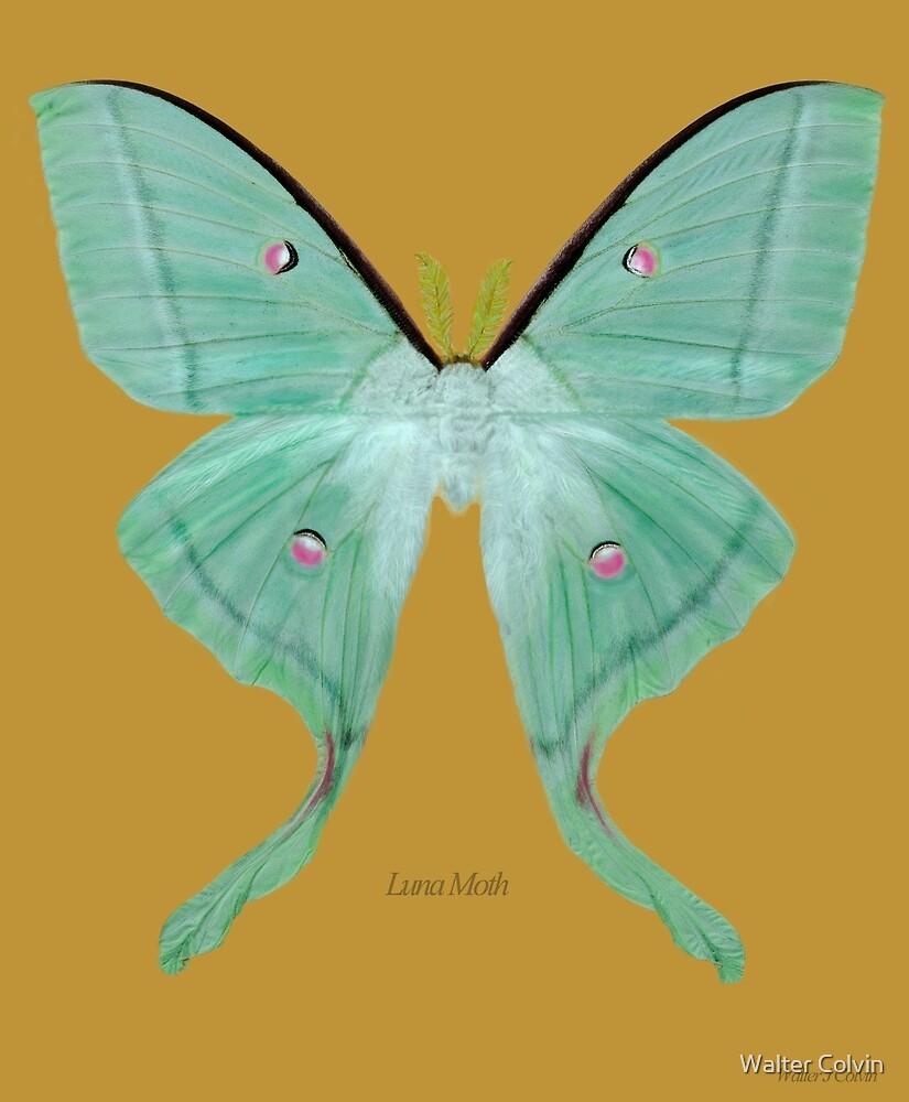 Luna Moth by Walter Colvin