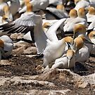 Australasian Gannets - Portland VIC (3810) by Emmy Silvius